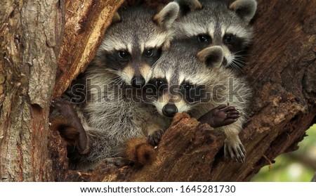 Three cute raccoons on a tree. Stock photo ©