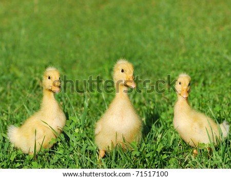 yellow baby ducks walking - photo #18
