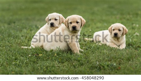 Stock Photo three cute yellow Labrador puppy resting in green grass