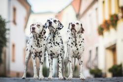 Three Dalmatian Dogs City photo