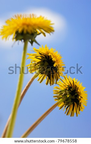 Three dandelions yellow flowers close-up isolated on blue sky