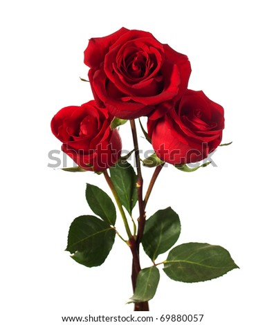 stock photo : three dark red roses isolated on white