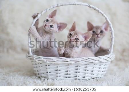 three devonrex kittens are sitting in a basket Foto d'archivio ©
