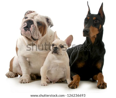 three different breeds of dogs isolated on white background - french bulldog, english bulldog and doberman pinscher