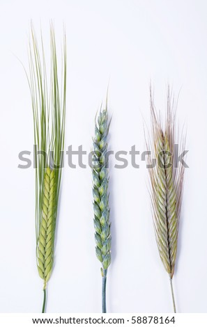 Three different sorts of grain like barley, wheat and rye isolated on white background, closeup image