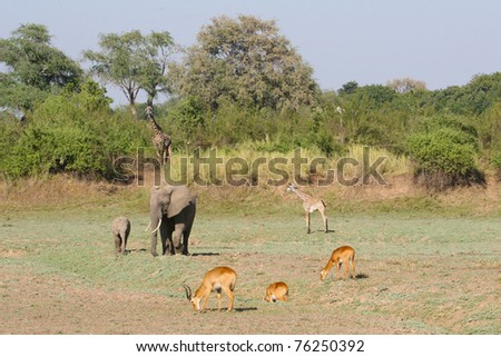Three different species of animal living harmoniously together in Zambia's South Luangwa Valley national park - stock photo