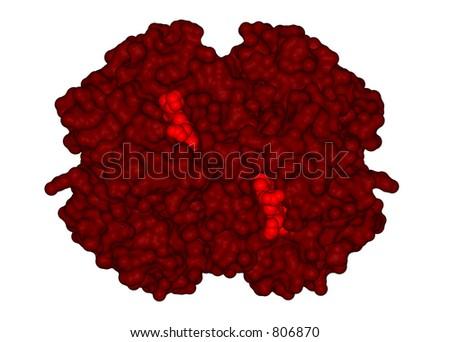 Three-dimensional structure of a hemoglobin molecule