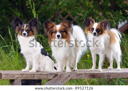 Three dog breeds Papillon sitting on the bench