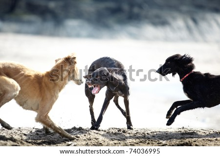 Three dog playing and fighting outdoors. Natural colors and light