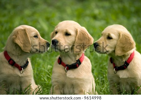 three dog puppies of golden retriever in a meadow