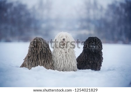 Three dogs breed Hungarian puli in nature from Christmas trees. In winter, a dogs with white, gray, black hair. Winter mood, snow, cold Zdjęcia stock ©