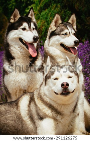 Three dogs close-up. Siberian Husky. The team of sled dogs.