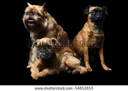 Three dogs (Griffons Bruxellois and Petit brabancon) on the black background