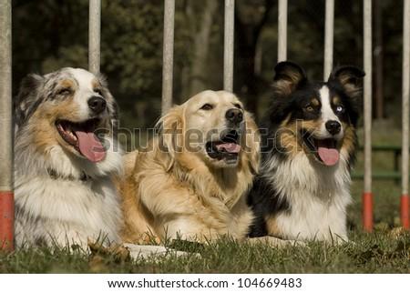 three dogs, lying in the slalom. portrait