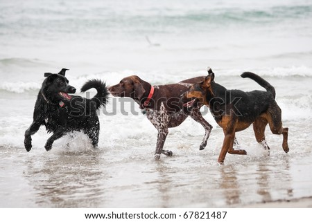 Water Beds Sleeping  Ocean on Three Dogs Playing In The Ocean Water Stock Photo 67821487