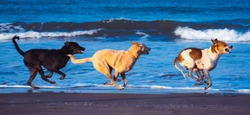 Three dogs running at the beach in a straight line, all are air borne, the front dog is showing his teeth in a cruel way and looks dangerous. Wild animal hunting for prey.