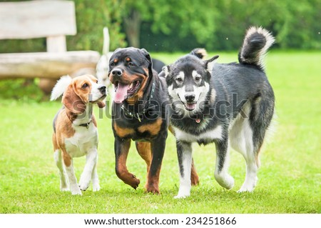 Three dogs running in the yard