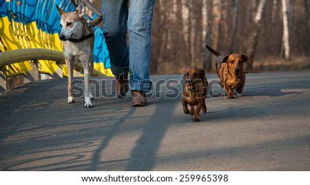 Three dogs (two dachshunds) on the city walk with woman from low angle near the yellow and blue fence