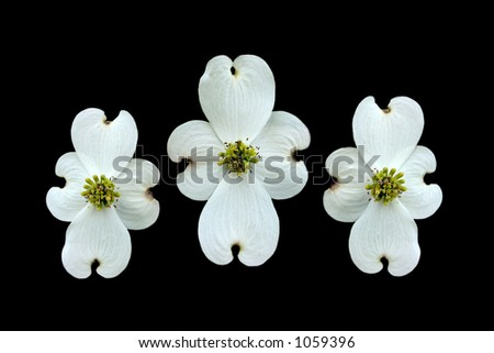 Three dogwoods isolated on black to resemble three crosses for Easter