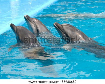 three dolphins in the pool