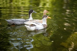 Three Domestic duck floating in the pond. Three domestic ducks swim in the pond. Film photography with artistic noise and blur