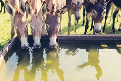 Three donkeys are drinking water in the bucket of water. The other donkeys are around behind them. Donkeys on the farm. Reflection of a donkey in the water.