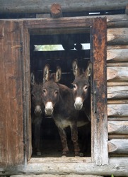 three donkeys in a wood hut looking at camera on a rainy day