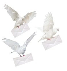 three doves carrying envelope isolated on white background