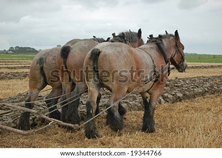 Three draft horses working on the field