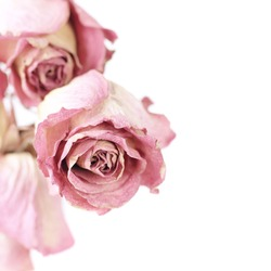 Three dried pink roses close-up on white background with copy space. Shallow DOF, focus on front rose.