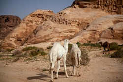 three dromedary camels in Jordan. Image features unique stone formations arid landscape, two white camel calves and their dark brown mom walking ahead. An integral part of the daily bedouin lifestyle.