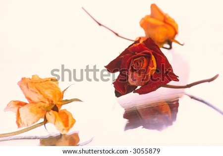 Three dry flowers   rose on  white background, cream and claret color