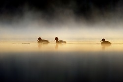 three duck in a mystic light