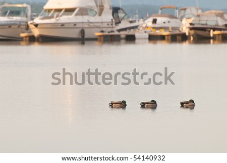 Three ducks relaxing on an early morning