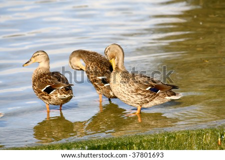 three ducks standing together by the lake