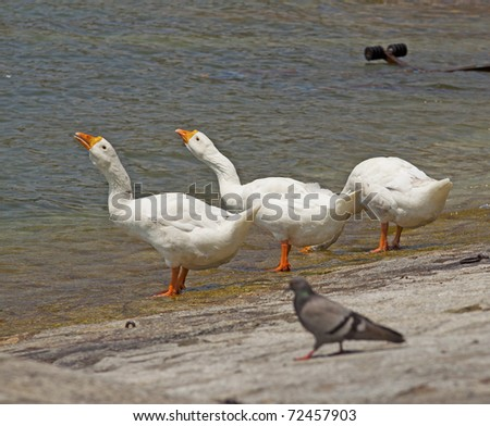 Three ducks, two with heads up, one with head down