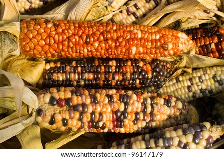 Three ears of decorative corn on display at the farmers market