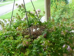 three eggs laid in a mourning dove nest in a hanging flower basket; Harrisonburg, VA, USA