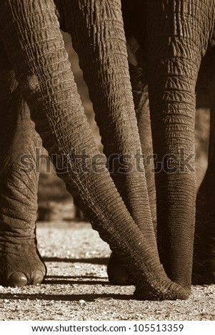 Three Elephant trunks smelling the same spot together. This unique image was catured at Addo elephant national park,eastern cape,south africa