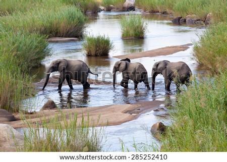 Three elephants crossing a river stock photo