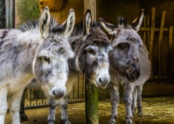 three faces of miniature donkeys in closeup, funny animal family portrait, popular farm animals and pets