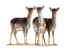 Three fallow deer, dama dama, does standing on grass isolated on white background. Group of hinds looking to the camera from front cut out. Wild mammal herd staring isolated.