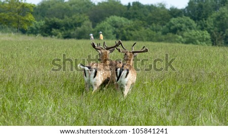 Three fallow deer see and smell people in the distant