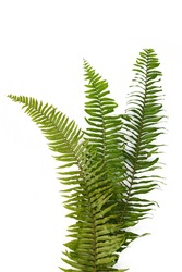 three fern leaves sword fern isolated on white background