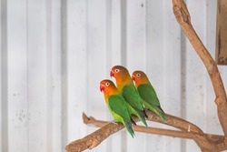 Three Fischer's Lovebird, agapornis fischeri sitting on a branch of tree, selective focus.