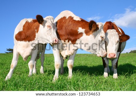 three flirting cows
