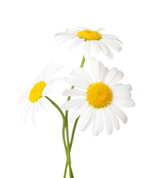 Three flowers of Chamomile ( Ox-Eye Daisy ) isolated on a white background.