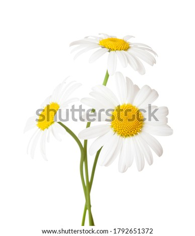 Three flowers of Chamomile ( Ox-Eye Daisy ) isolated on a white background. Stock foto ©
