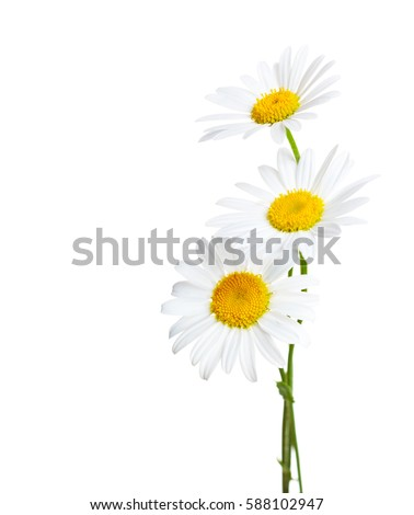 Three flowers of Chamomiles  ( Ox-Eye Daisy ) isolated on a white background. #588102947