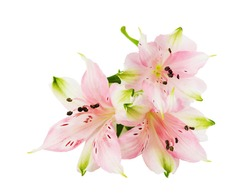 Three flowers of pink alstroemeria isolated on white